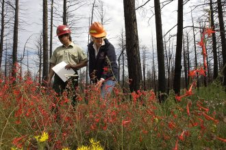 Ponderosa pines two years after a wildfire in Colorado. Credit: Lyn Alweis/Denver Post via Getty Images