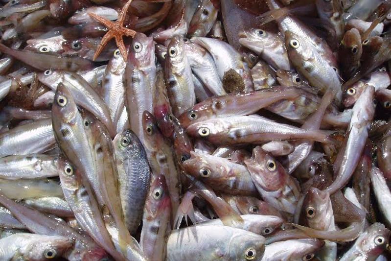 Haddock. Credit: Northeast Fisheries Science Center/NOAA