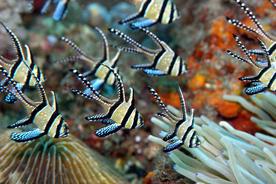 Cardinalfish. Credit: Jens Petersen/CC-BY-3.0