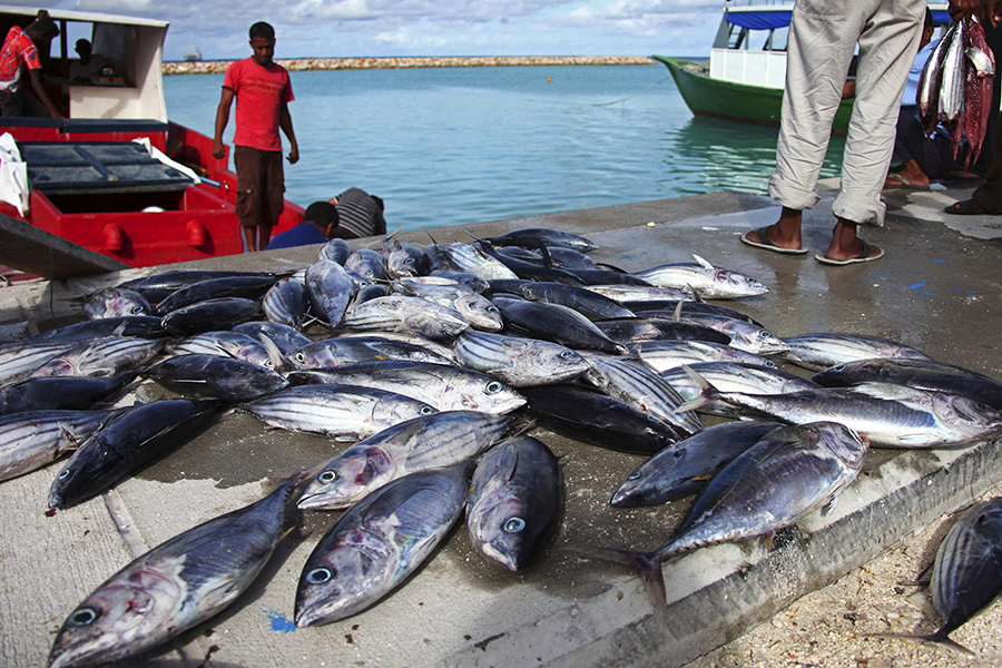 Fishermen in the Maldives bring in a catch. Ocean warming is putting coastal fish under higher stress, particularly in the tropics. In the islands, coastal species have no few if any options to escape the heat. Credit: EyesWideOpen/Getty Images