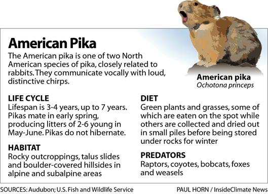 Profile: The American Pika