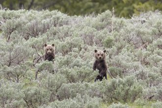 Grizzly bears in Yellowstone National Park. Jim Peaco/Yellowstone National Park
