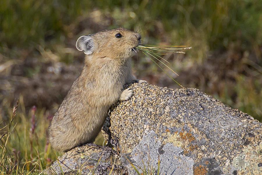 American Pika. Ann Schonlau/Rocky Mountain National Park/CC-BY-ND-2.0