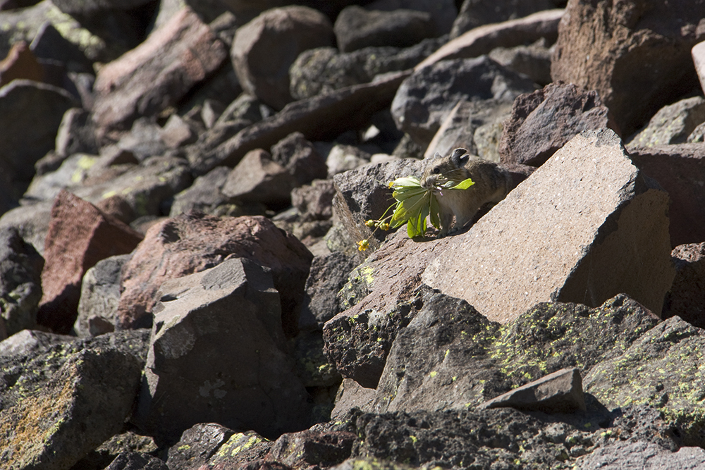 The American pika may not be as iconic as bison or grizzly bears, but these relatives of rabbits are almost impossibly cute as they dart from rock to rock carrying wildflowers that they cache as food. Credit: Nicholas Kusnetz/ICN
