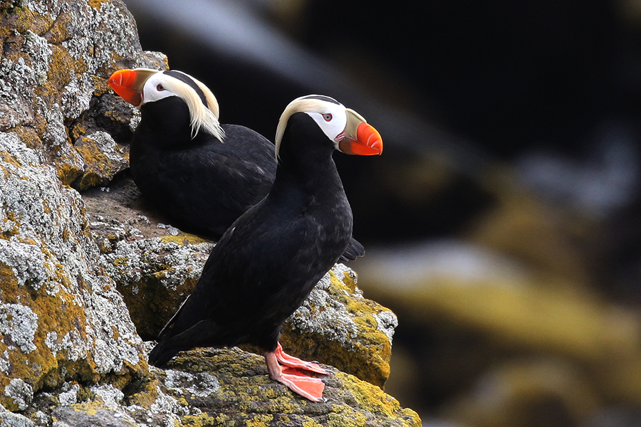 Tufted puffins on St Paul Island in the Bering Sea off the Alaska coast. Credit: Isaac Sanchez/CC-BY-2.0