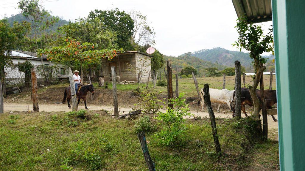 Cattle in El Rosario. Credit: Georgina Gustin/InsideClimate News