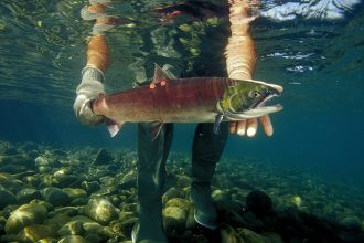 Sockeye salmon. Credit: Mark Conlin/VW PICS/UIG via Getty Images