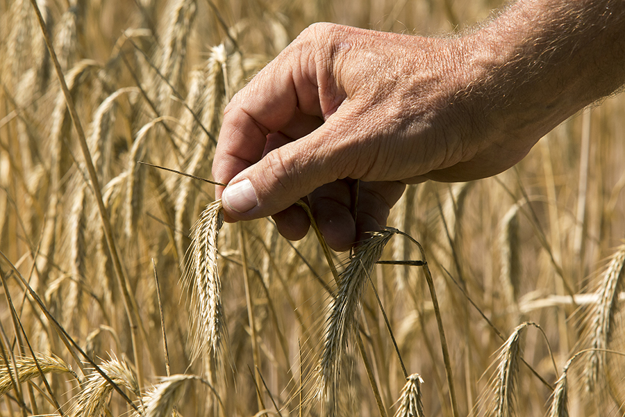 Wheat crop. Credit: Ole Jensen/Getty Images
