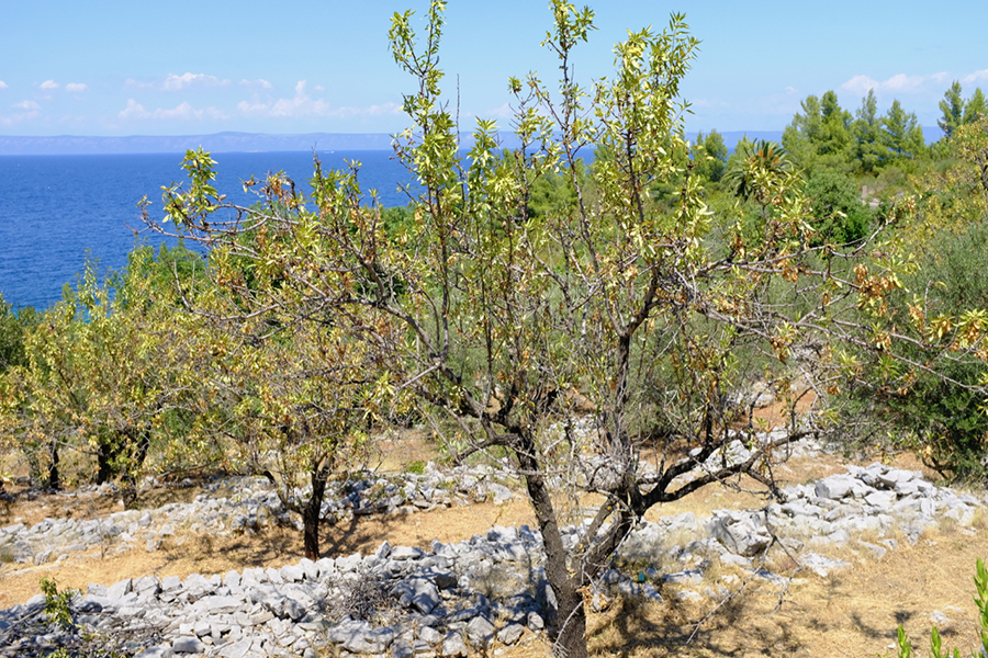 Almond groves on the Croatian island of Korcula have been under stress with the rising global temperatures. This summer's extreme heat has sent them into a tailspin, with some dying and others sprouting new leaves well out of season. Credit: Bob Berwyn