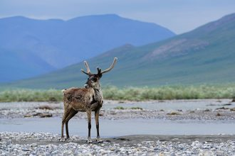 Caribou in the Arctic National Wildlife Refuge, above the Arctic Circle, in early July 2019. Credit: Danielle Brigida/USFWS