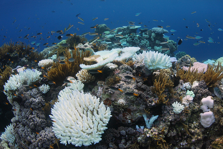 After a recent mass coral bleaching on the Great Barrier Reef, researchers found a sharp drop there in the diversity of fish species that rely on reef habitats. Credit: Laura Richardson/ARC Center of Excellence for Coral Reef Studies