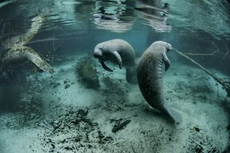 Manatees in the Crystal River National Wildlife Refuge in Florida. Credit: David Hinkel/U.S. Fish and Wildlife Service