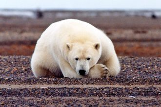 A polar bear in the Arctic National Wildlife Refuge. Credit: Susanne Miller/U.S. Fish and Wildlife Service