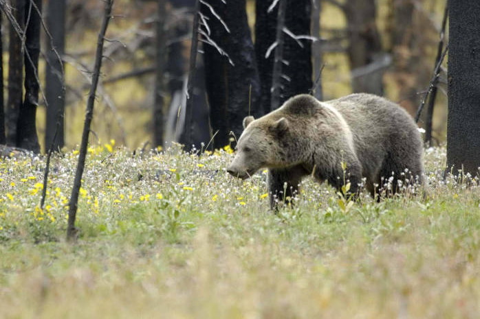 The grizzly bear population in and around Yellowstone National Park was restored to threatened status under the federal Endangered Species Act this year. Credit: Terry Tollefsbol/U.S. Fish and Wildlife Service