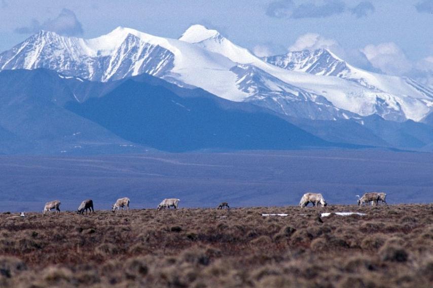 Caribou on the Arctic National Wildlife Refuge's coastal plain. Credit: U.S. Fish and Wildlife Service
