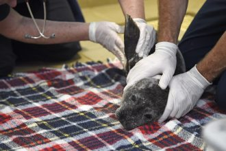 A sickly harbor seal pup is examined at the Pacific Marine Mammal Center in March 2015 after it was rescued in Laguna Beach, California, amid a marine heat wave. Credit: Robyn Beck/AFP/Getty Images