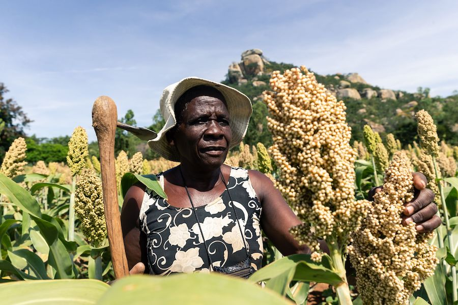 The World Food Program has been working with farmers in Zimbabwe to plant crops like sorghum that require less water. A drought this year caused widespread crop failure, putting two million lives at risk of starvation. Credit: Jekesai Njikizana/AFP/Getty