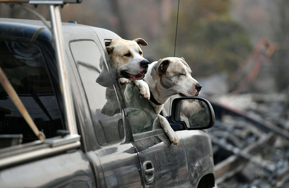 Dogs waited in a truck as residents of Paradise, California, returned to their wildfire-destroyed properties. Credit: Josh Edelson/AFP/Getty Images