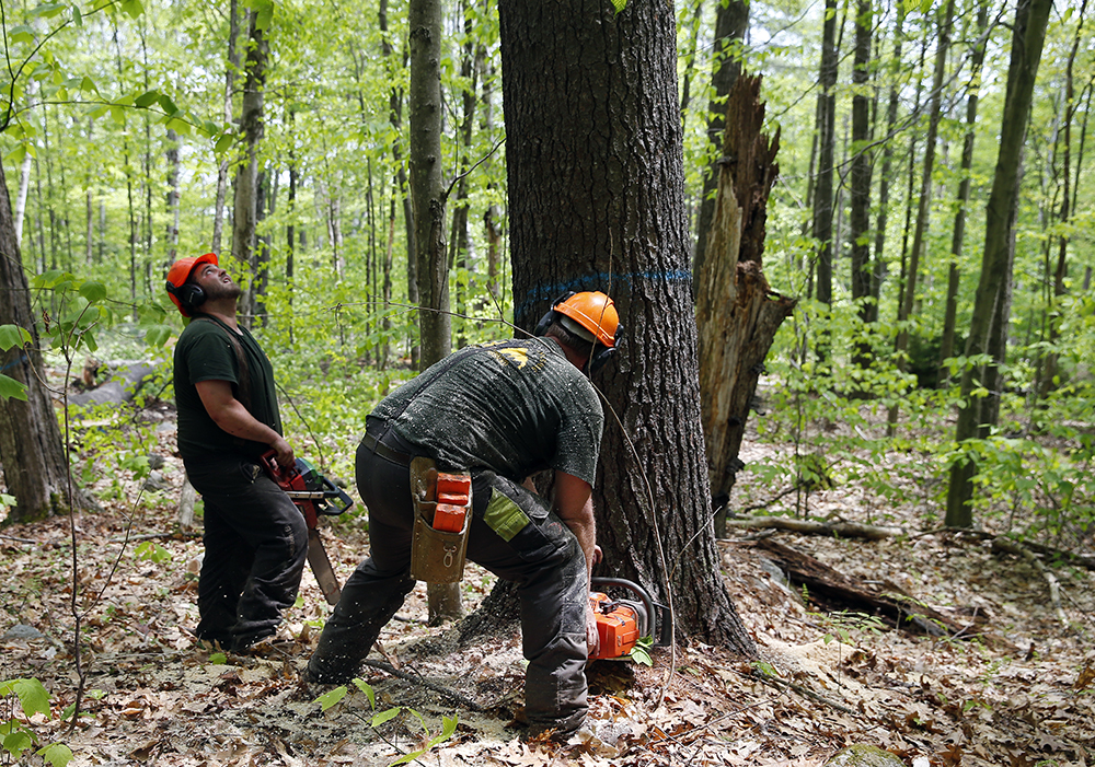 Loggers with chainsaws cut down trees near Reading, Vermont. Credit: Jessica Rinaldi/Boston Globe via Getty Images