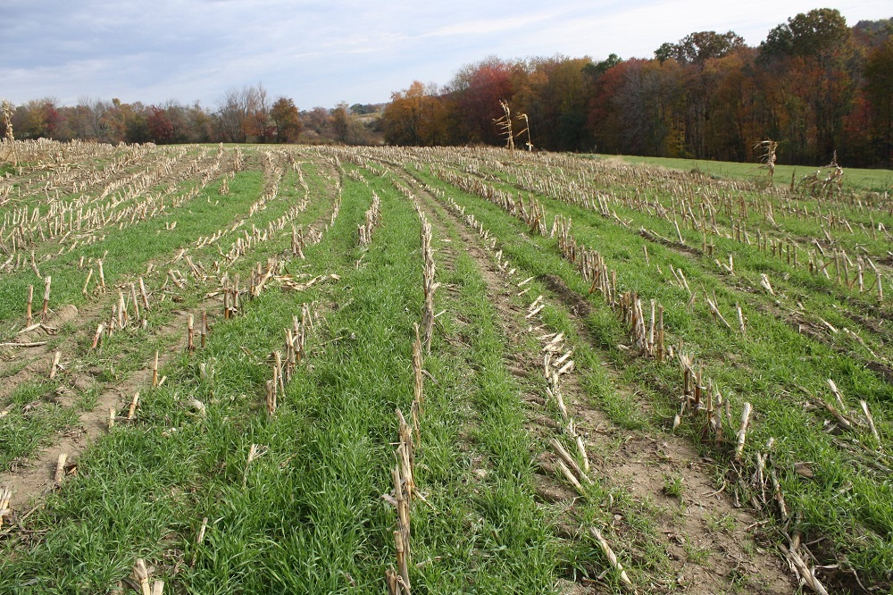 Rye grass, planted here in a corn field by aerial seeding, is an example of a cover crop that can establish itself before corn is harvested. Credit: Natural Resources Conservation Service Massachusetts