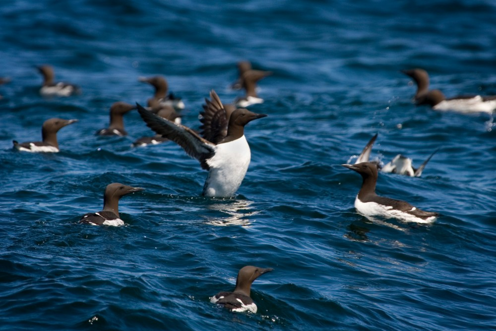 A common murre flaps its wings in the waters of Kenai Fjords National Park, Alaska. Credit: Dave Walsh/VW Pics/Universal Images Group/Getty Images