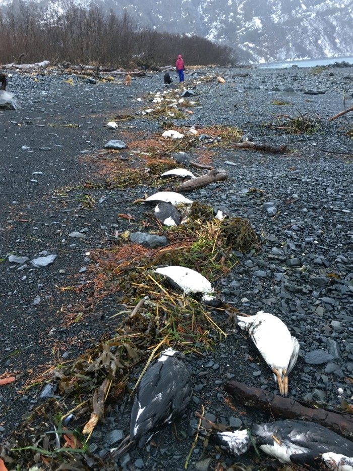 Dozens of dead common murres lie on a beach in Whittier, Alaska. Credit: David Irons