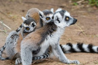 Ring-tailed lemurs are on IUCN's endangered species list. Credit: Mathias Appel/Flickr