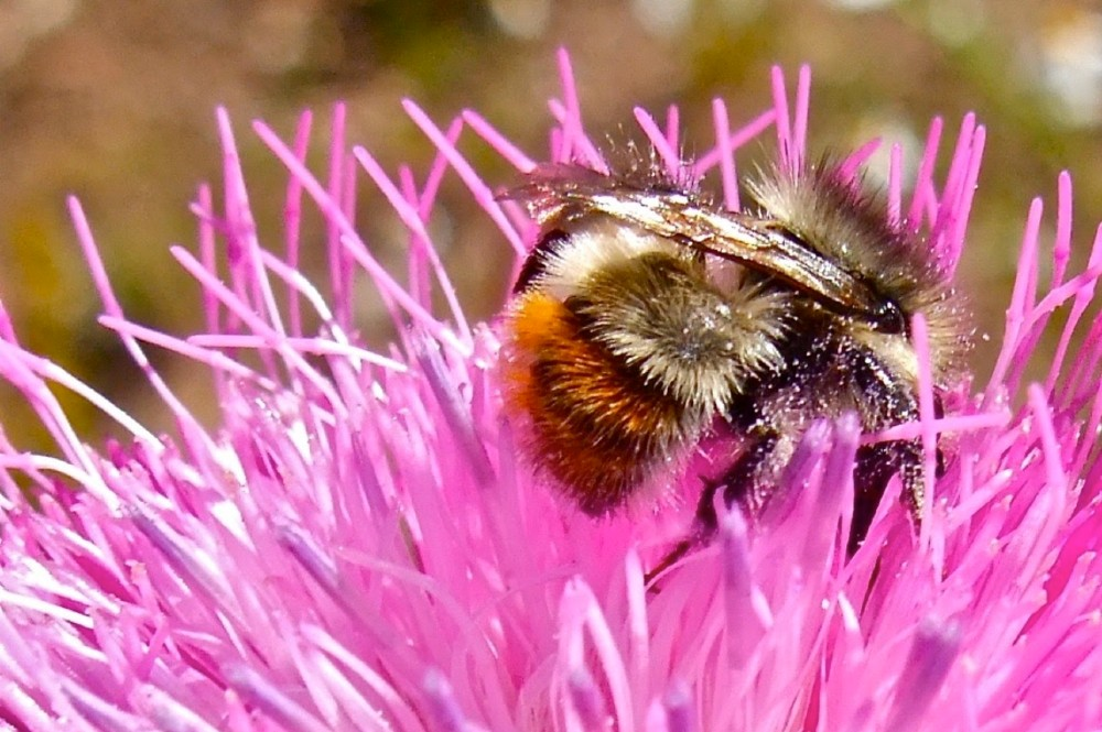 Bumblebee. Credit: Bob Berwyn/InsideClimate News