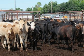 A cattle feedlot in Oklahoma. Credit: Alice Welch/USDA