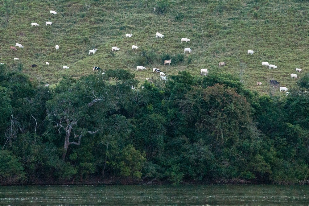 White cattle spread on pastures cultivated in the rainforest next to the Xingu river in Sao Felix do Xingu in Para state, northern Brazil. Credit: Yasuyoshi Chiba/AFP via Getty Images