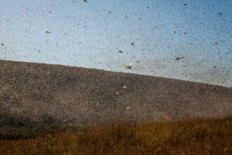 Millions of locusts swarm in Tsiroanomandidy, Madagascar. Credit: Rijasolo/AFP via Getty Images