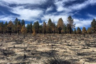 In Eastern California, the U.S. Forest Service is using controlled fires in Jeffrey pine forests to try and make them more resilient to climate change. Credit: Bob Berwyn