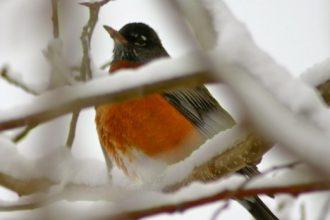Robin. Credit: Bob Berwyn