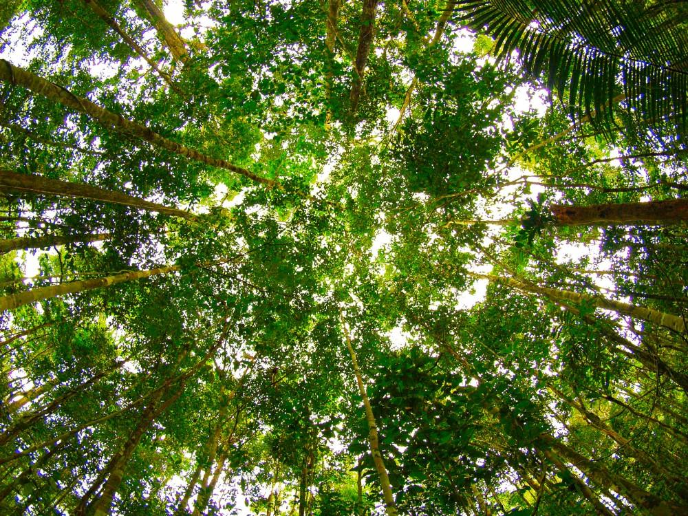 Tree canopy. Credit: Alex Torrenegra/Flickr