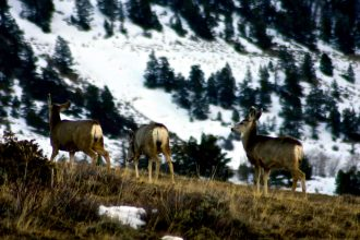 Mule deer starting their spring migration in the Colorado Rockies browse for new growth just below the snowline. Credit: Bob Berwyn