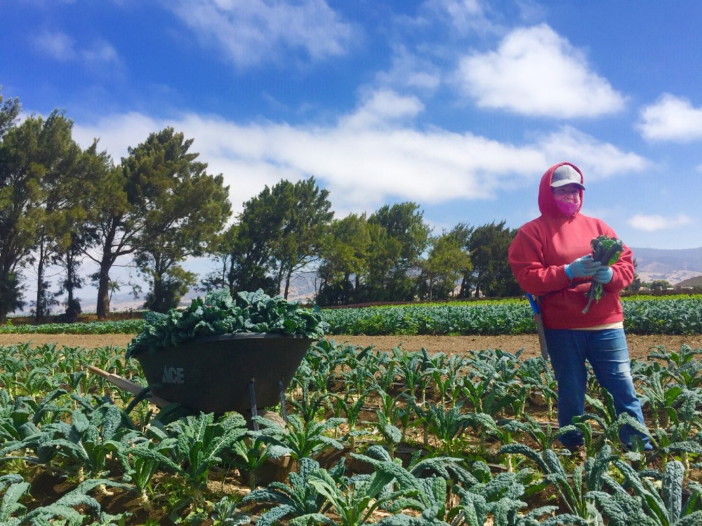Cecelia Rojas, harvesting dinosaur kale, her largest crop. She used to pick strawberries as a farmworker, literally backbreaking work, but can take breathers these days.