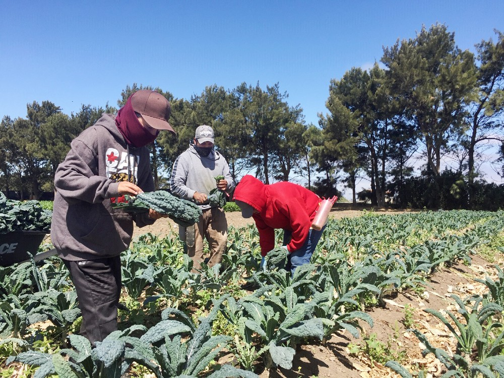 Ceceiia Rojas and her husband Alejandro Tepetitlas pick the ripest kale leaves to bunch for their wholesale customers. Their son, Giovanni, 10, works right alongside them because he loves to, he says.