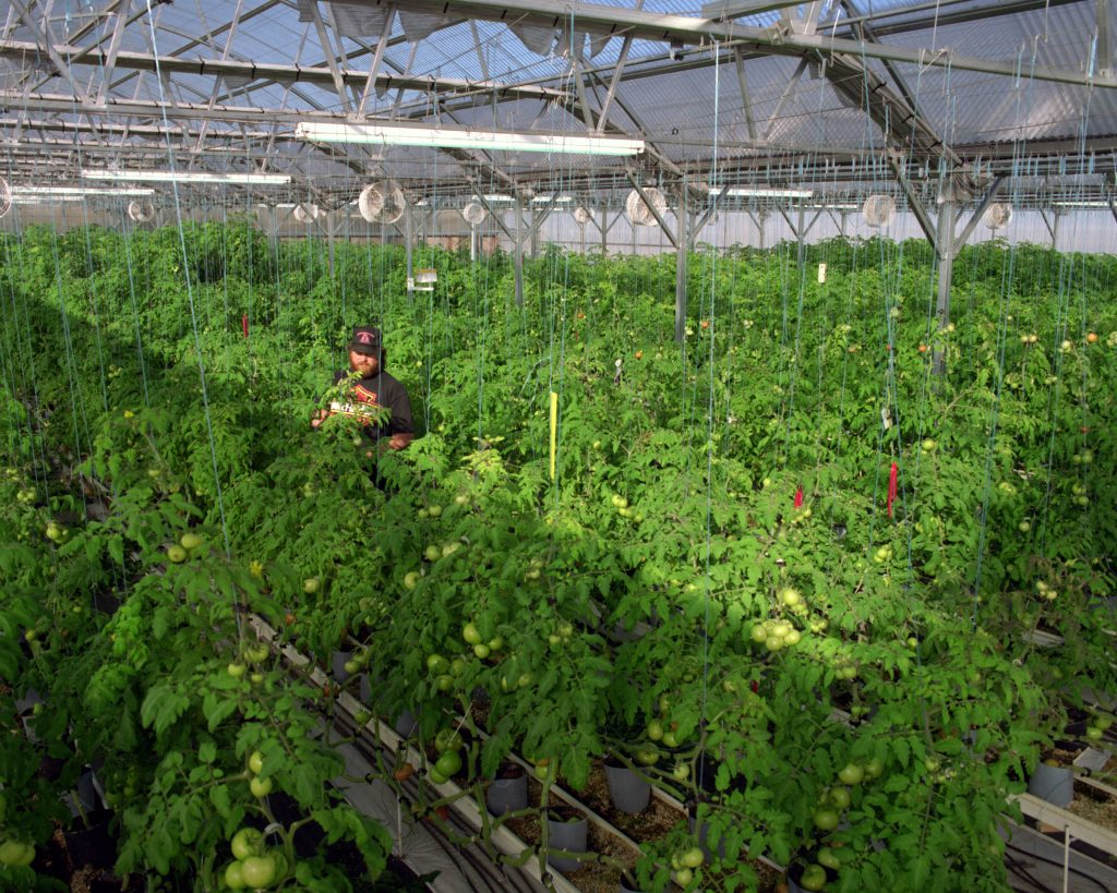 A crop of organic hydroponic tomatoes is grown in the mountains of Colorado using low grade geothermal wells to heat the greenhouse and water greenhouse produce. Credit: Warren Gretz/NREL