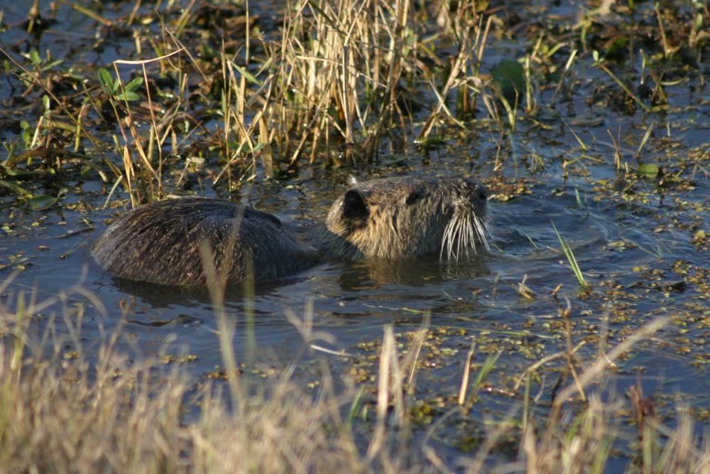 Nutria, an invasive rodent from South America, damage wetlands, levees and agricultural crops, Credit: Smith Collection/Gado/Getty Images