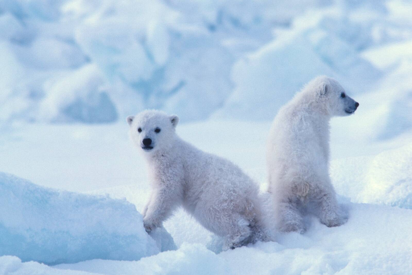 Polar bear cubs spend the first two months of their lives in their dens. A new study found that mothers are unlikely to evacuate their den with their cubs—even if their lives are threatened. Credit: Steven C. Amstrup/Polar Bears International