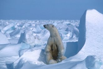 A new study projects that all but possibly a few polar bear populations will face demographic declines by 2100 as the season with no sea ice elongates and extends polar bear fasts. Credit: Steven C. Amstrup/Polar Bears International