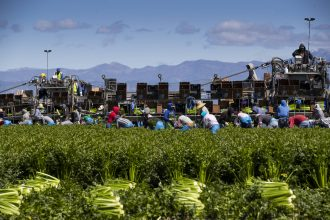 Agricultural workers from Bud Farms harvest celery on March 26, 2020 in Oxnard, California. Credit: Brent Stirton/Getty Images