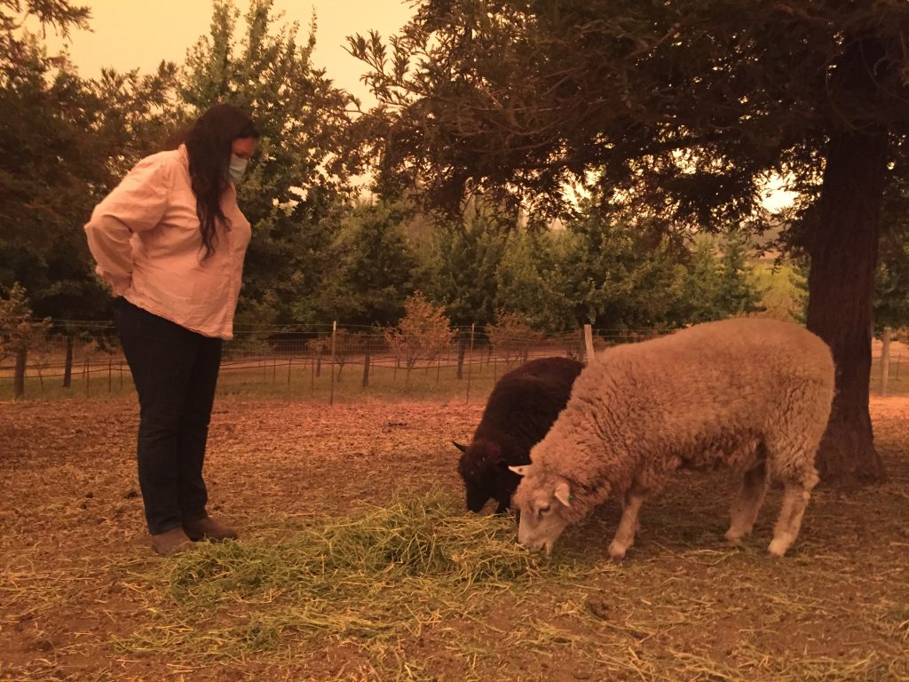 Kari Flores, farm manager for Robert Sinskey Vineyards, tends to the sheep that tend to the vineyards' grounds. Credit: Evelyn Nieves/InsideClimate News