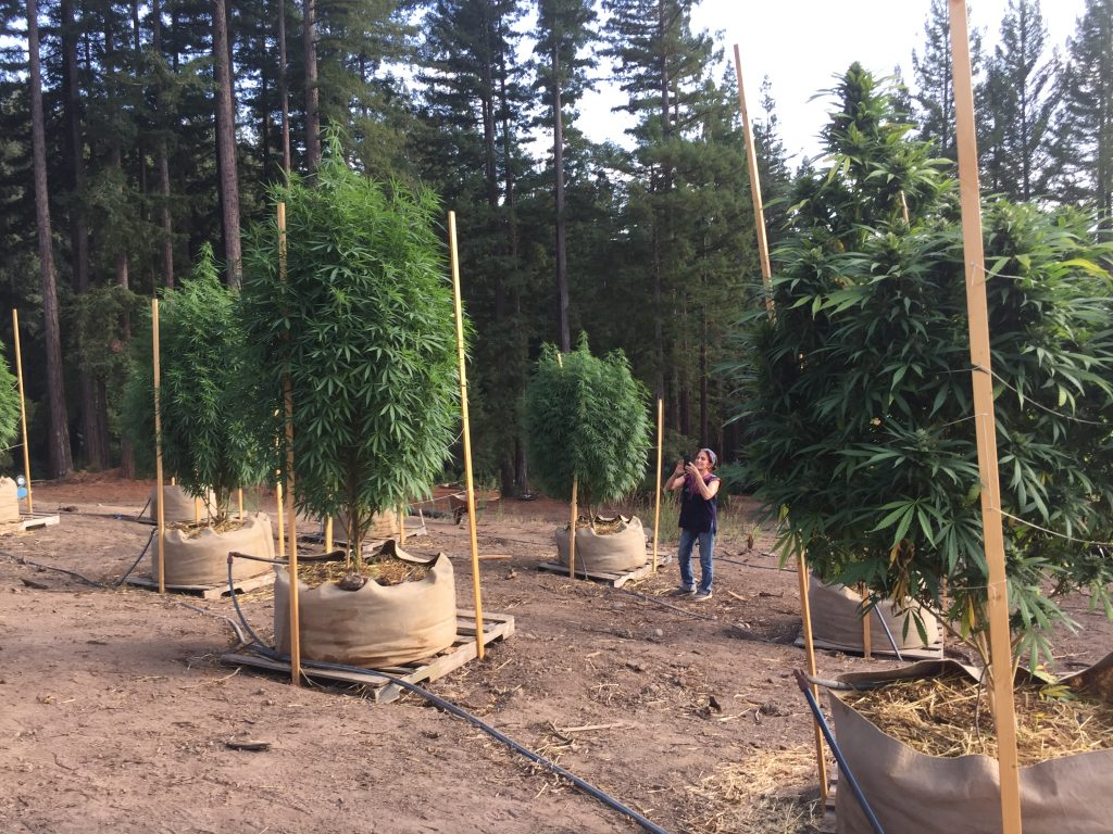 Valerie Corral looks over plants growing for WAMM Phytotherapies at a former Boy Scout camp in unincorporated Corralitos in south Santa Cruz County. The land is now co-owned by a WAMM board member. Credit: Evelyn Nieves