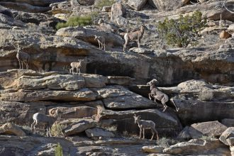 Bighorn sheep like these in Unaweep Canyon and wild, wide-open spaces on the Uncompahgre Plateau of western Colorado are threatened by decisions tied to the de facto leader at the Bureau of Land Management, say the state of Montana and conservation groups