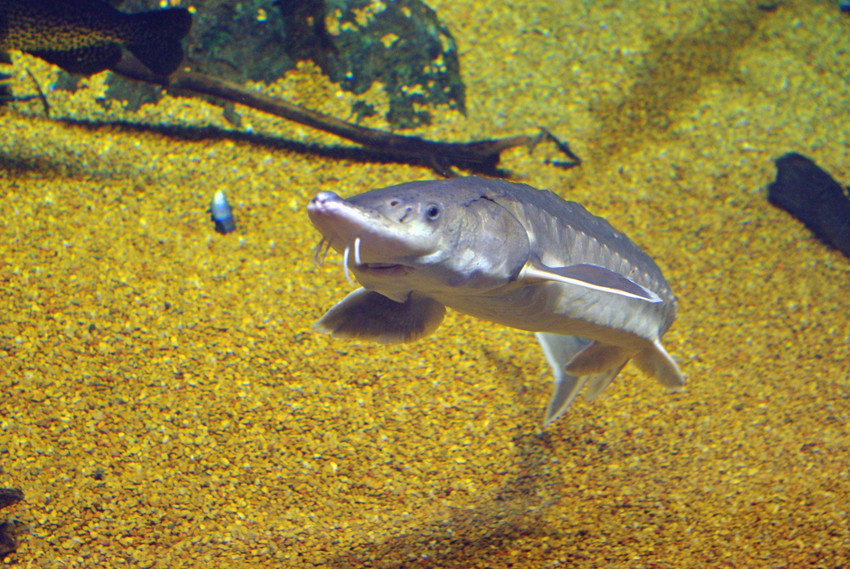 Environmentalists are concerned that the endangered Atlantic sturgeon could be harmed by transmission lines placed below the Hudson River. Credit: Center For Biological Diversity