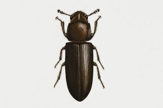 Confused flour beetle (Tribolium confusum) is one of two species used in the experiment detailed in a recent Proceedings of the National Academy of Sciences study. Credit: DeAgostini/Getty Images