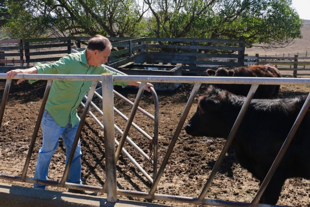Bill Niman operates a regenerative beef ranch of about 300 cattle in the south end of Point Reyes. Credit: Julie Kane/InsideClimate News