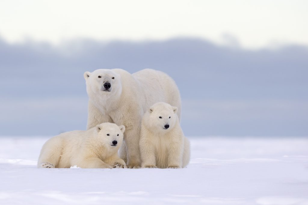 A polar bear mother and two yearlings living in the Arctic National Wildlife Refuge in Alaska. Credit: Sylvain CORDIER/Gamma-Rapho via Getty Images