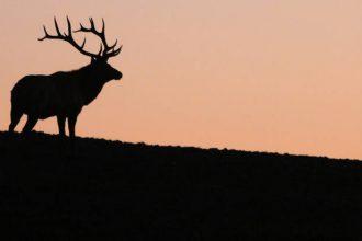 Tule Elk. Credit: Julia Kane/InsideClimate News